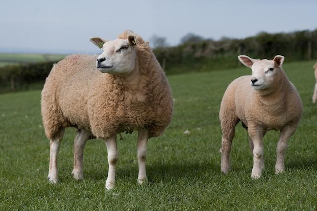 Maintain ewe nutrition to minimise mastitis risk