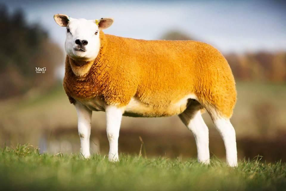 Chelford in-lamb sale sees 5000gns peak