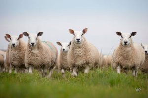 Texel crosses leading prime sheep trade