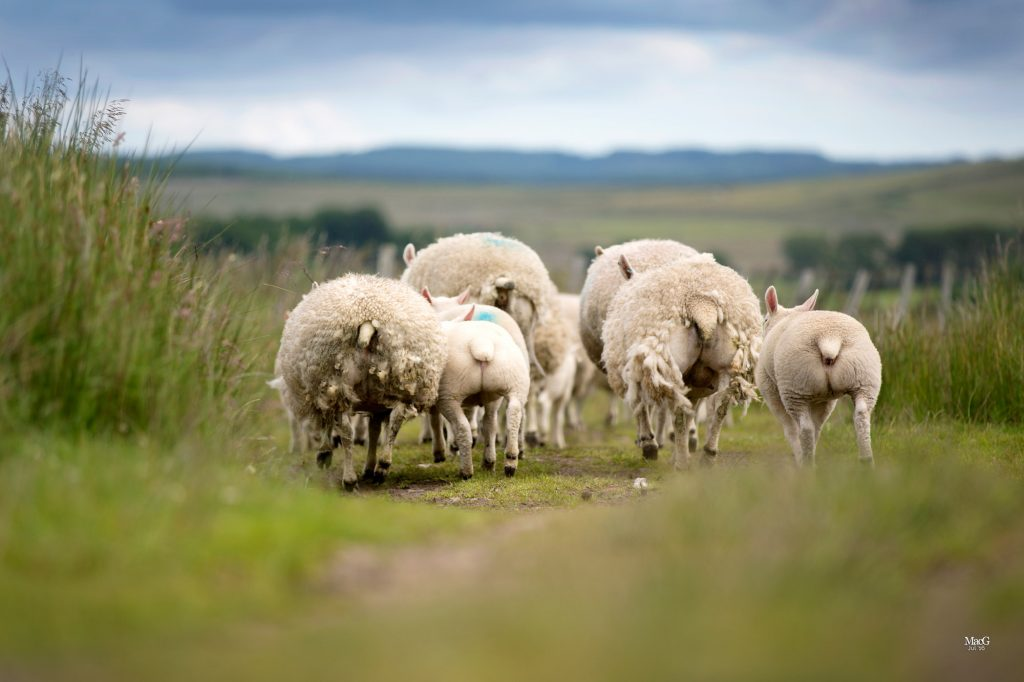 Texel crosses leading spring lamb trade