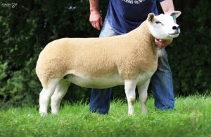 Loosebeare leads Worcester collective females at 3300gns