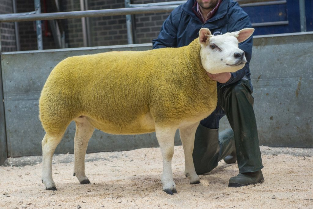 Strathbogie gimmers are shining stars at Carlisle