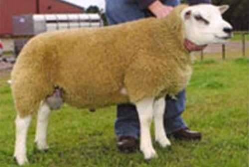 Semen Directory Texel Sheep Society