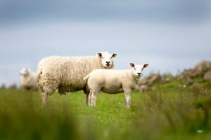 Texels delivering for Scottish sheep farmers in challenging times
