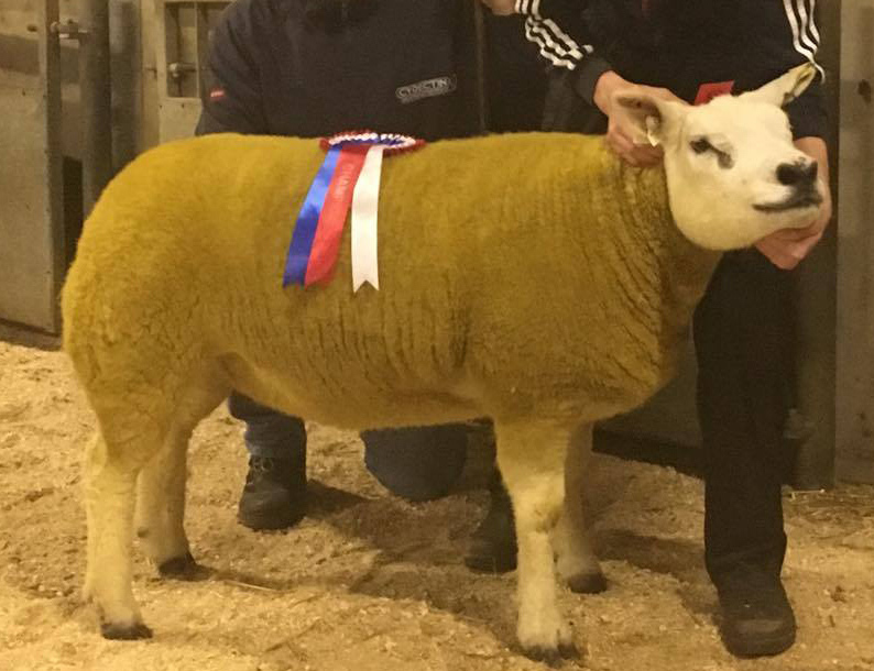 Drumgooland pregnancy leads NITBC in-lamb sale
