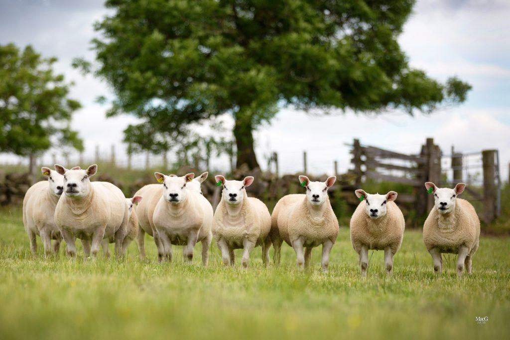 Book Scottish ultrasound lamb scanning soon