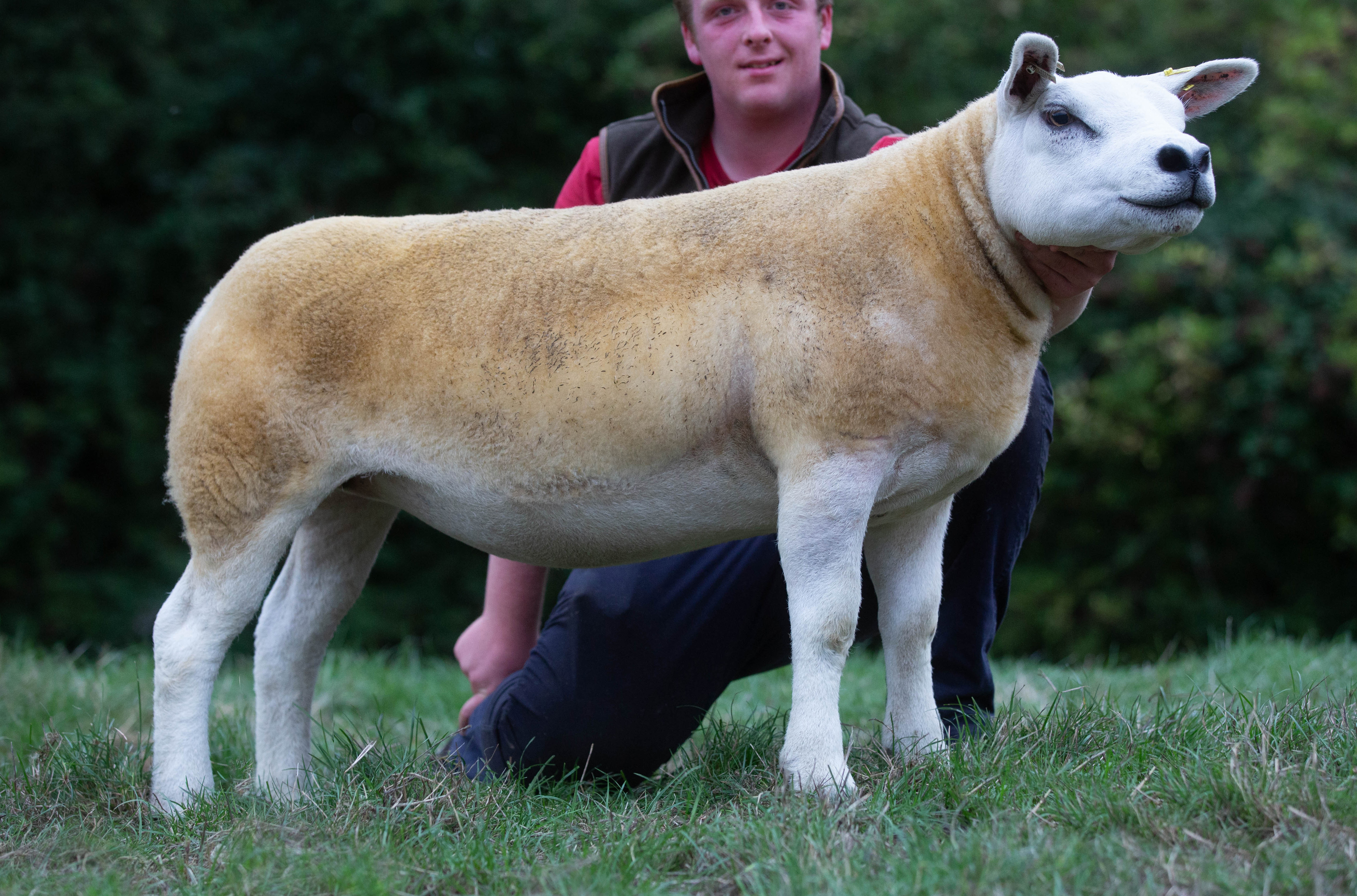 English National sale sees 16,000gns top and record gimmer average