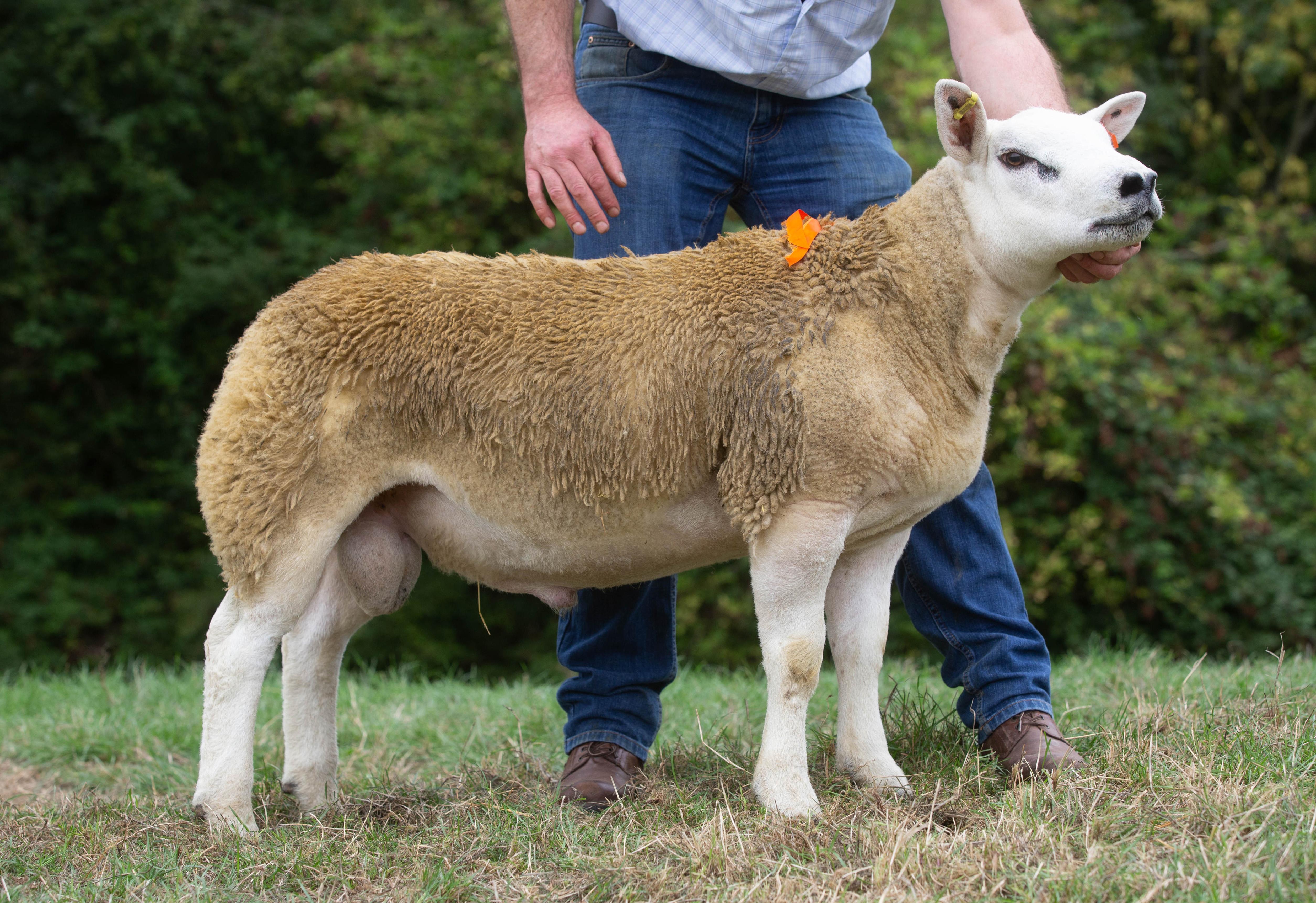 8000gns ram lamb top call at English National