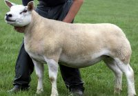 4ac02efb Awesome day for Garngour flock as Texels lead Kelso with £29,000 ...