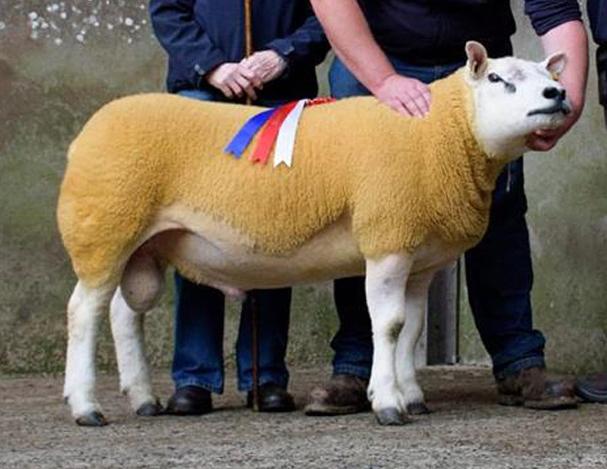 6dd19b3a Latest News – Page 6 – Texel Sheep Society