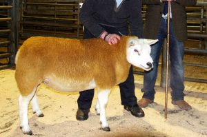 Stainton flock leads the way at NATSB Sale